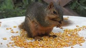 tohumlar : fox squirrel eating corn