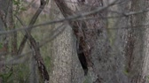 jedzenie : Pileated Woodpecker feeds on a bug