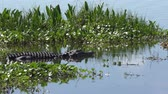 угрожая : large american alligator in a lake
