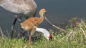 bebês : sandhill crane with a chick ,close up Stock Footage