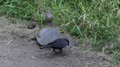 roubar : crow trying to steal turtle eggs