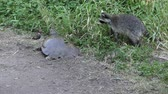 roubar : young raccoon is trying to steal the turtle eggs Vídeos
