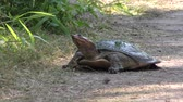 рептилия : Softshell Turtle going to lay eggs Стоковые видеозаписи