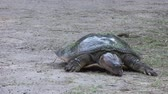 рептилия : Softshell Turtle walking