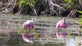 renk : Roseate Spoonbills grooming its feathers Stok Video