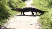 скрестив : Large american alligator crossing a trail