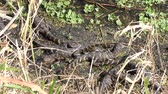 рептилия : baby alligators basking in a swamp Стоковые видеозаписи