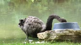 tollazat : Black swan feeds from a bowl
