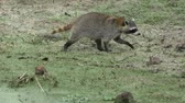 kürk : Raccoon walking in Florida wetlands