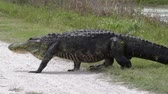 скрестив : large alligator crossing road in Florida wetlands
