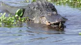 зуб : alligator swims with a turtle in its mouth