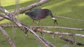 жаба : Green heron with a frog in Florida wetlands