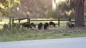 varken : wilde varkens in Florida park