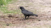 buscar : Fish Crow trying to find the turtle eggs