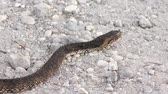 snake skin : Banded Water Snake Crossing Road Stockvideo