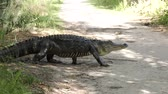 скрестив : large alligator walking on a trail Стоковые видеозаписи