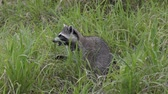 olhar : Raccoon feeds in Florida wetlands