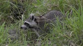 olhar : raccoons feed in the grass