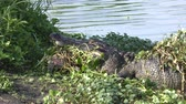 yakalamak : alligator with a turtle in its jaws Stok Video