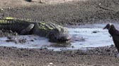krokodyl : alligator eating fish in the drying up pond