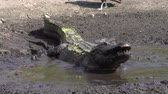зуб : alligator swallows fish in the drying up pond