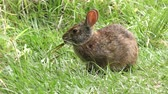 konijntje : Marsh Rabbit voedt op gras in Florida wetlands Stockvideo