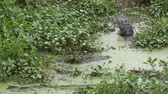 dişler : male and female alligators during breeding season
