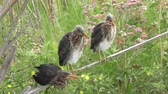 орнитология : three green heron chicks perching