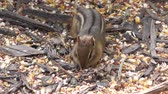 kürk : chipmunk stuffs seeds in its mouth Stok Video