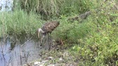 caracol : adult and a baby limpkins feed in a swamp Stock Footage