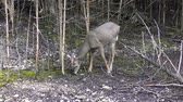 kürk : Young white-tailed deer male feeds in the woods