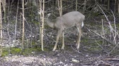 оленьи рога : Young white-tailed deer male feeds in the woods