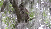 olhar : Barred Owl in Florida woods Stock Footage