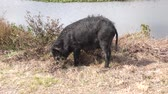 kök : wild black hog feeds in wetlands