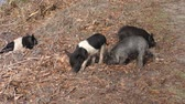 gyalogló : wild piglets feed in Florida wetlands