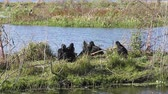 wetland : Black Vultures in Florida wetlands