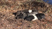 kismalac : wild piglets rest in Florida wetlands