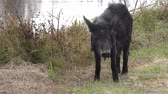varken : wild hog vrouwelijke feeds in wetlands van Florida Stockvideo