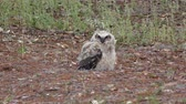 excelente : great horned owlet on the ground