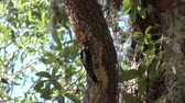 лес : Downy Woodpecker male on a tree