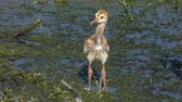 hayvanat : sandhill crane chick in Florida wetlands Stok Video