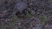 héj : Nine-banded armadillo feeding