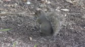 esquilo : squirrel feeds in Florida wetlands