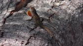 jaszczurka : Common Florida Lizard on a tree