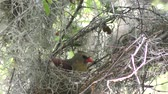 musgo : Northern cardinal female building a nest