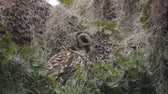 predador : Barred Owl with its prey Stock Footage
