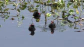 wetland : Common Gallinule with the chicks Stock Footage