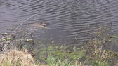 wildlife : alligator with her babies Stock Footage