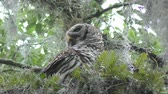 musgo : Barred Owl Perched on a branch Stock Footage