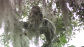 baykuş : Barred Owl with its owlet